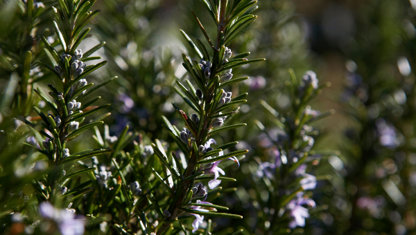 The Herb Garden rosemary
